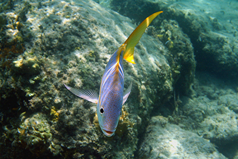 Yellowtail Snapper - Bahamas