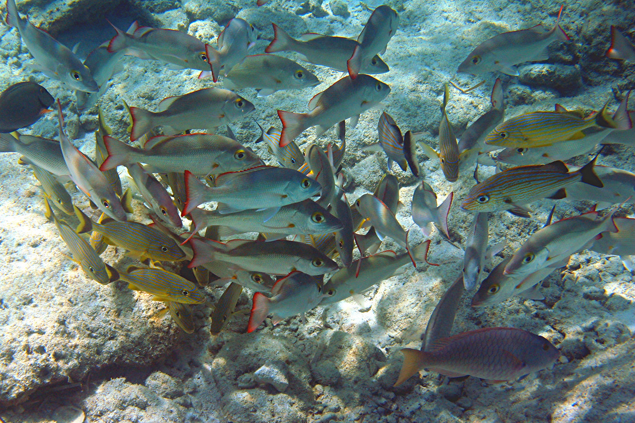 White Mullets and Bluestriped Grunts - Bahamas
