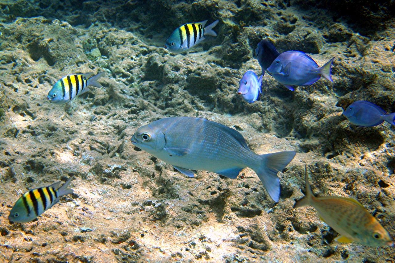 Bermuda Chub, Sergeant Major, Blue Tang, Yellowfin Mojarra - Cayman Islands