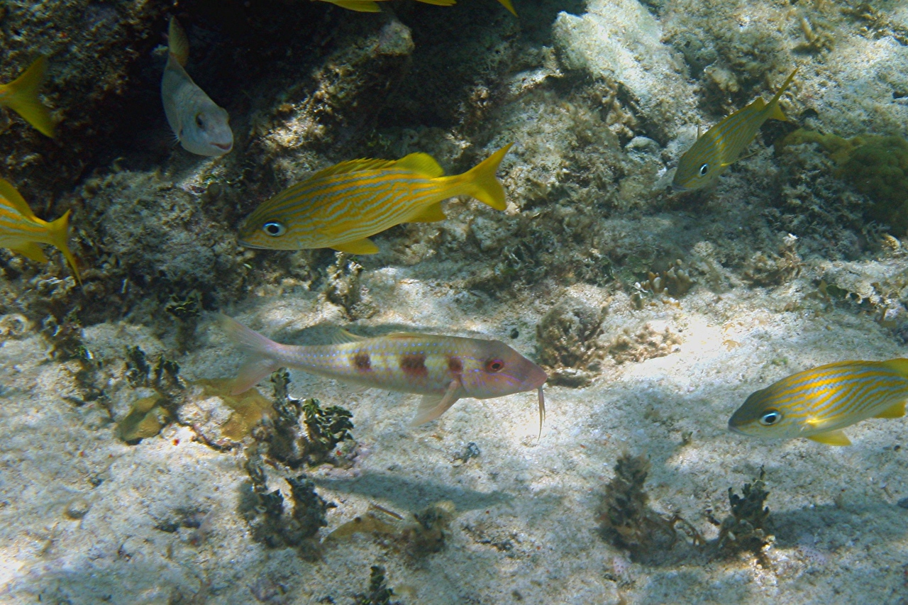 Spotted Goatfish and French Grunt - Bahamas