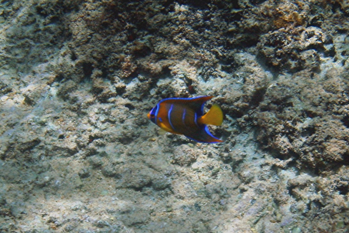 Queen Angelfish - Cayman Islands
