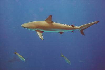 Reef Shark - Bahamas