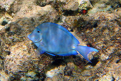 Blue Tang - Cayman Islands