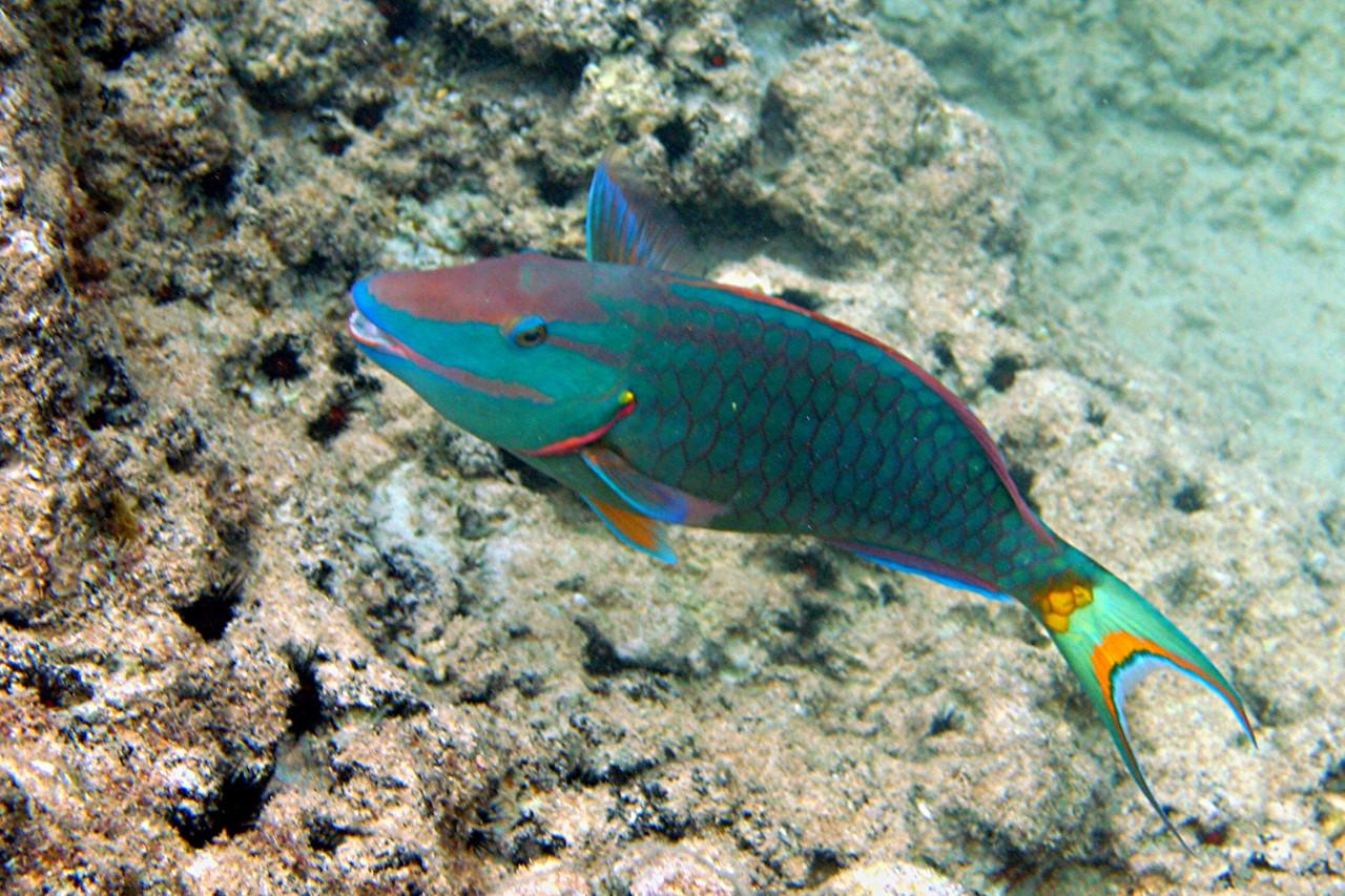 Stoplight Parrotfish - Cayman Islands