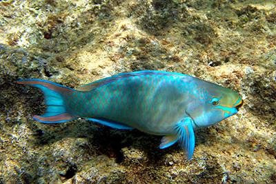 Queen Parrotfish - Cayman Islands