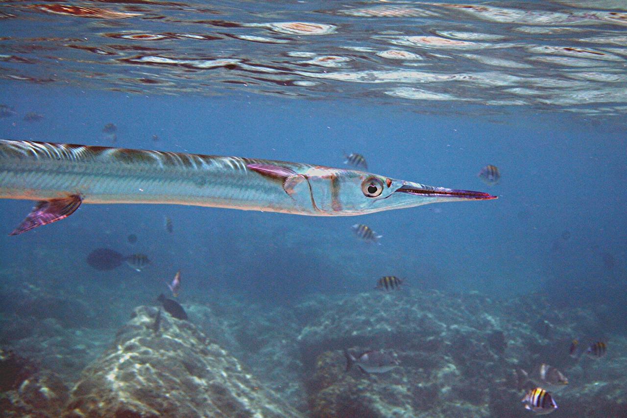 Redfin Needlefish - Bahamas
