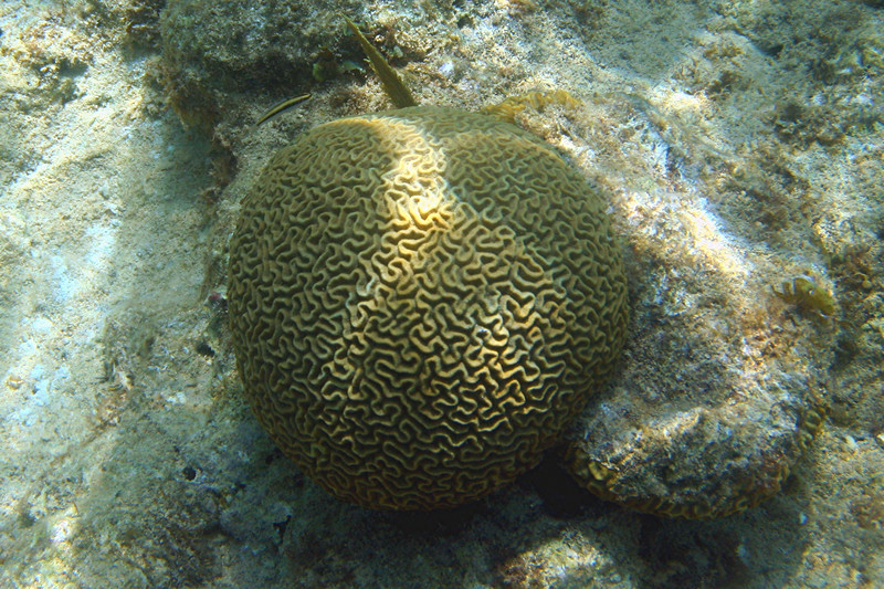 Smooth Brain Coral - Cayman Islands