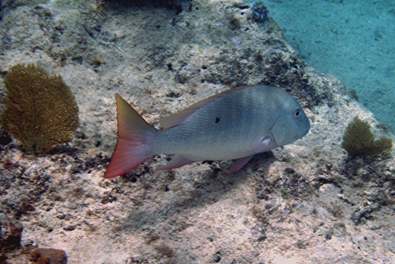 Mahogany Snapper - Bahamas