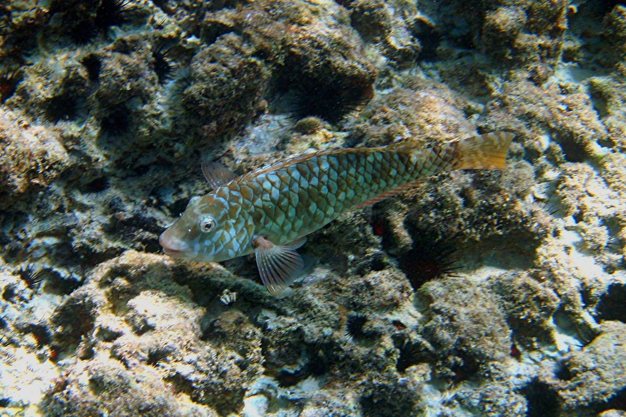 Female Redband Parrotfish - Cayman Islands