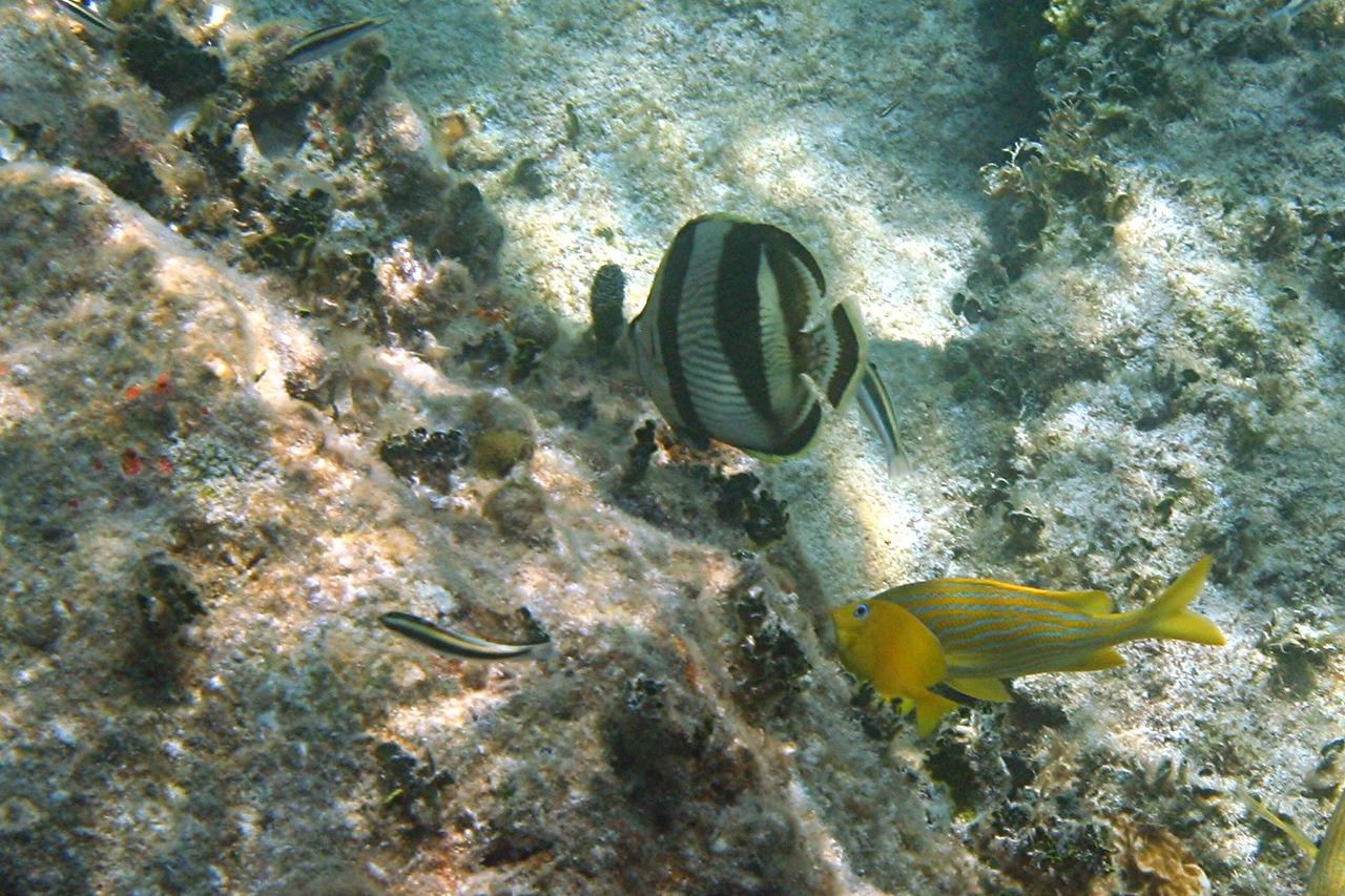 Banded Butterflyfish and Juvenile Blue Tang - Bahamas