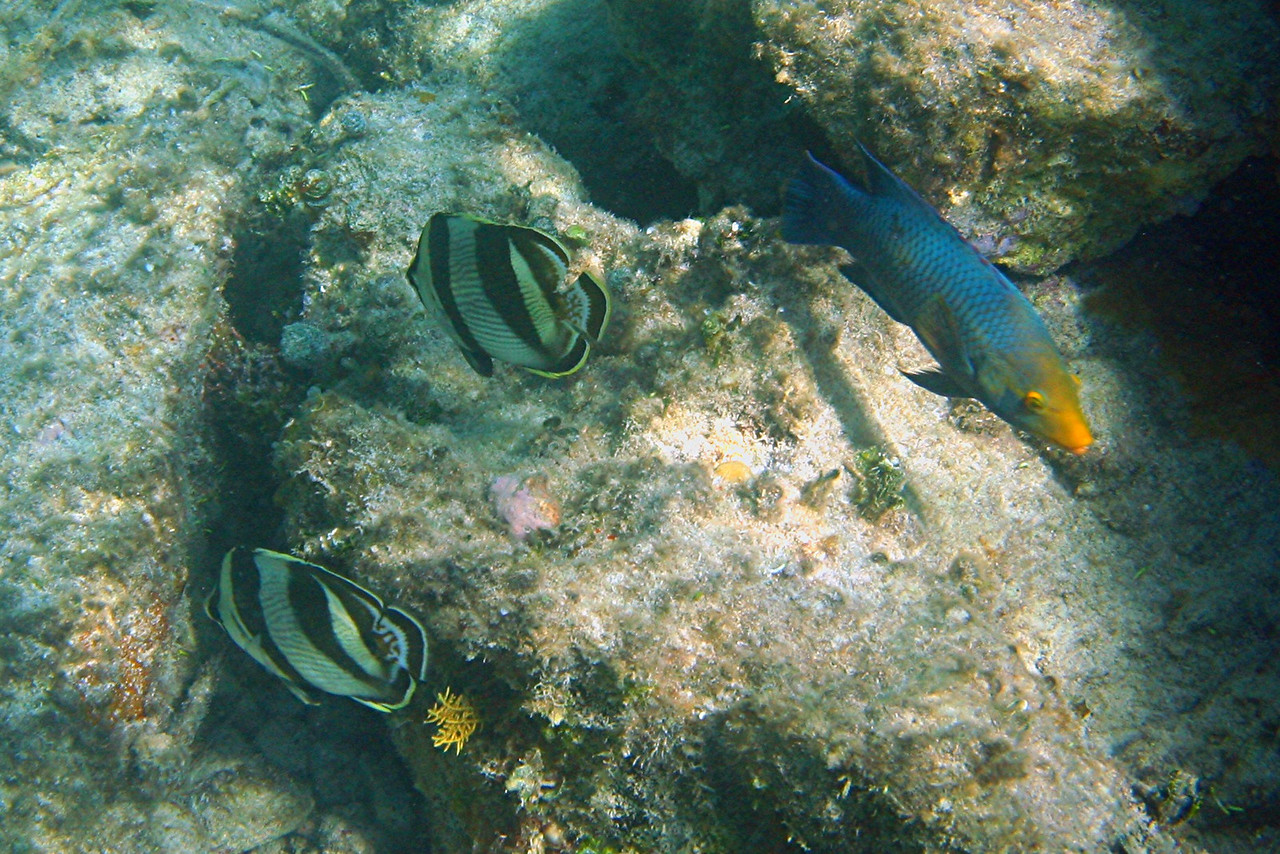 Banded Butterflyfish and Hogfish - Bahamas
