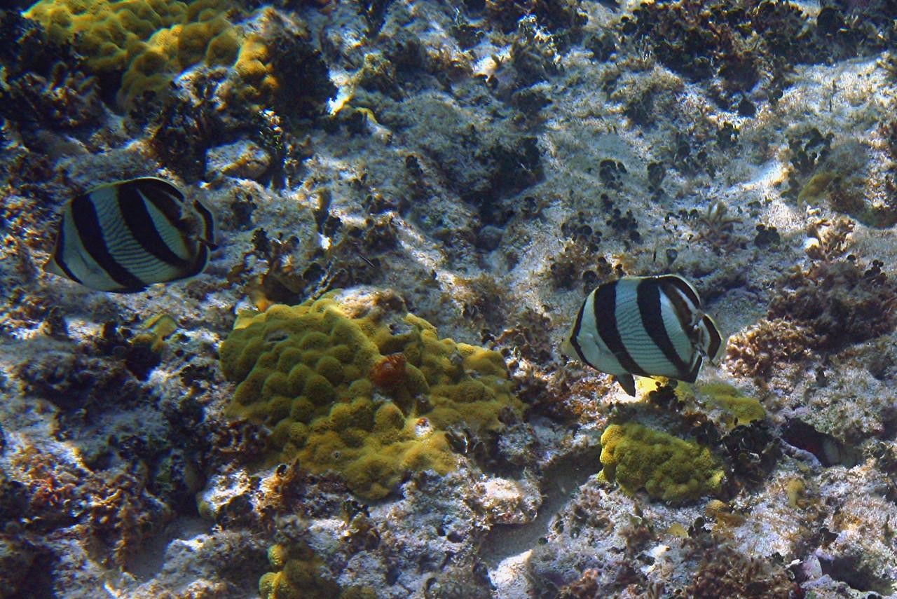 Banded Butterflyfish - Bahamas