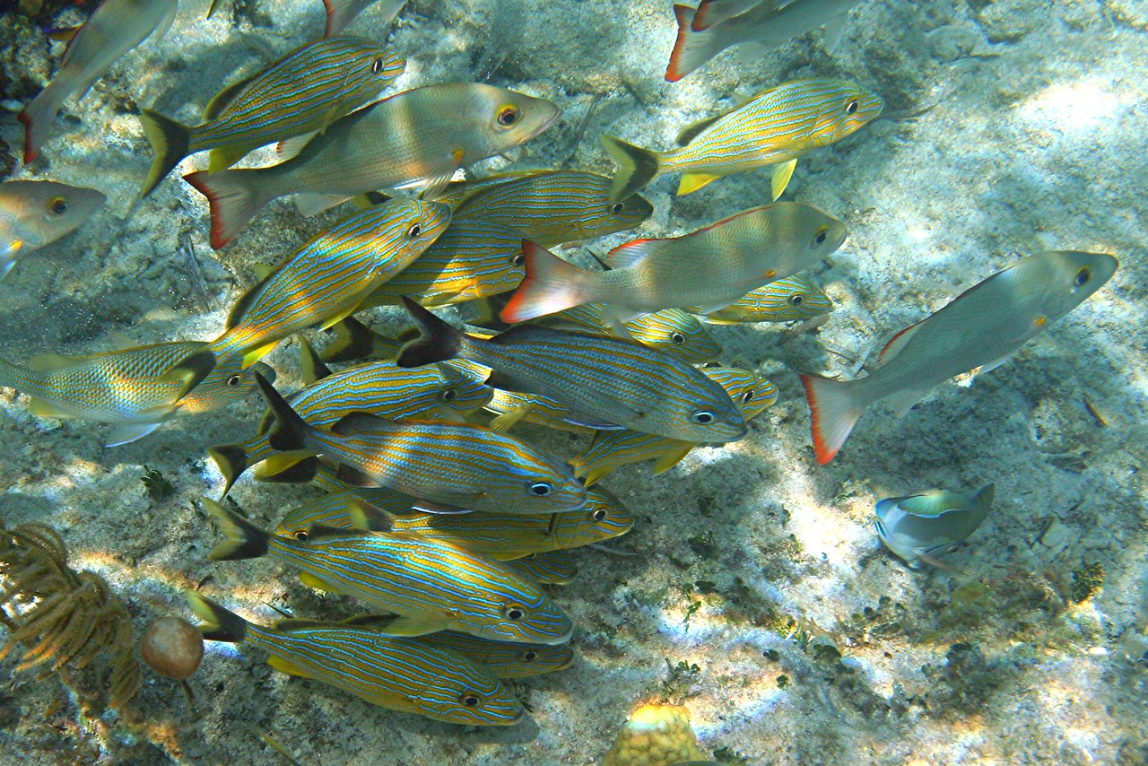 Bluestriped Grunts and White Mullets - Bahamas