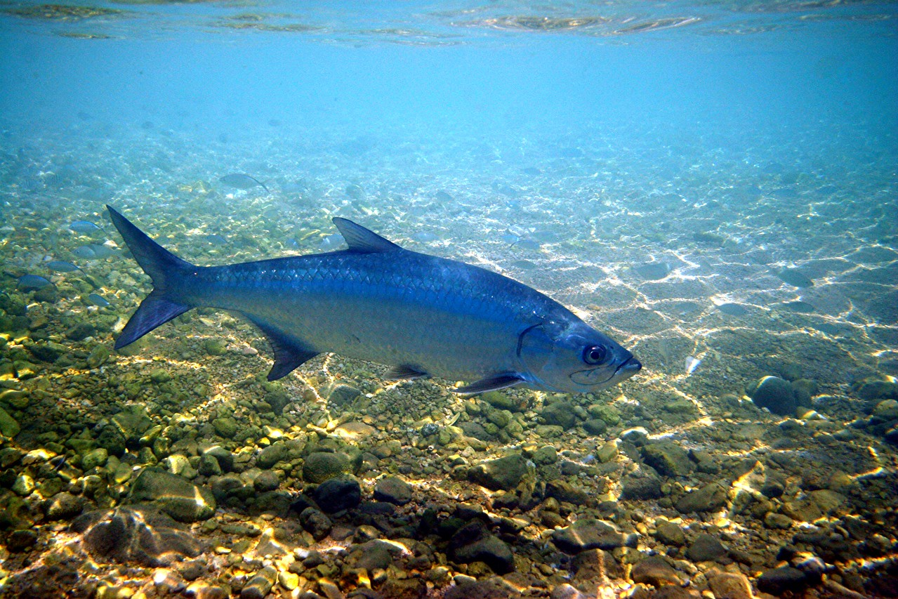 Tarpon - Cayman Islands