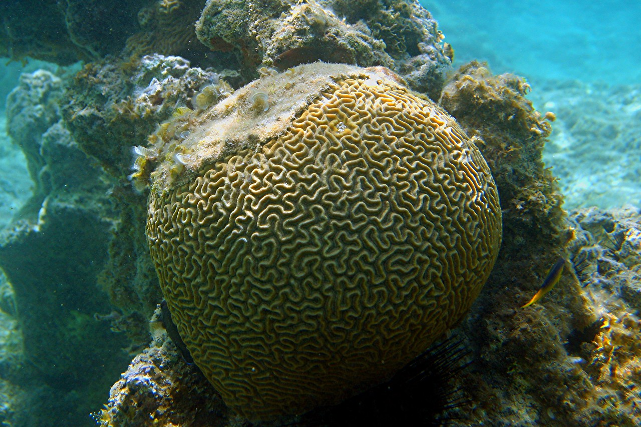 Smootb Brain Coral - Cayman Islands
