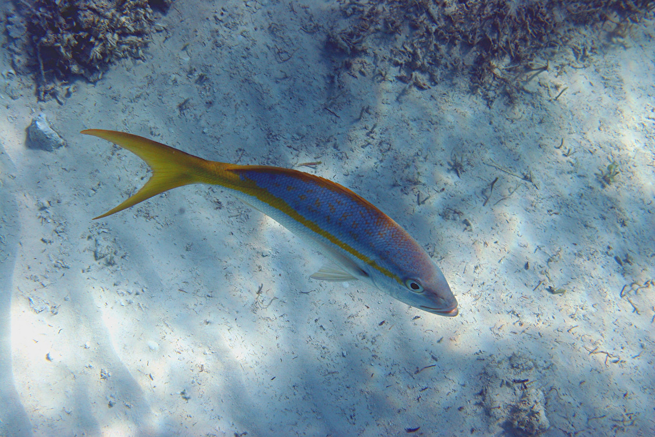 Yellowtail Snapper - Bahamas