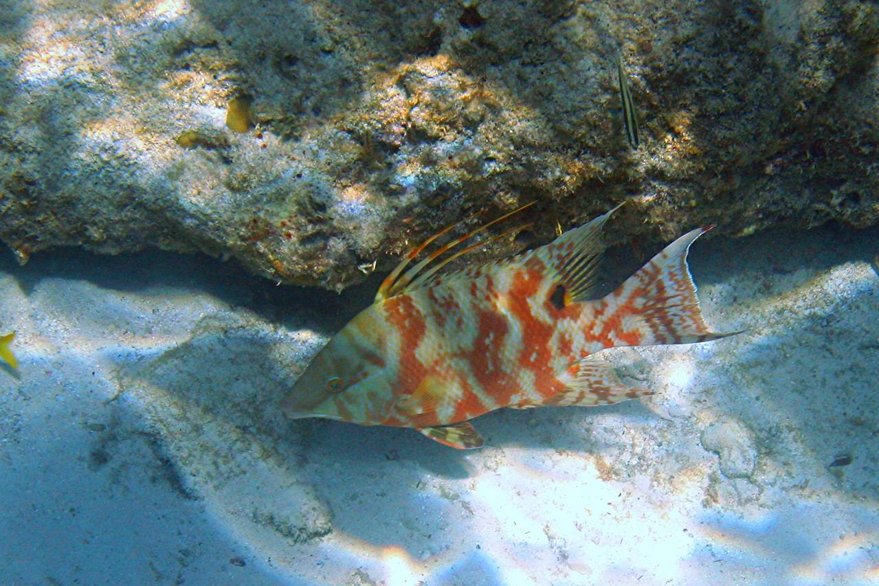 Hogfish - Bahamas