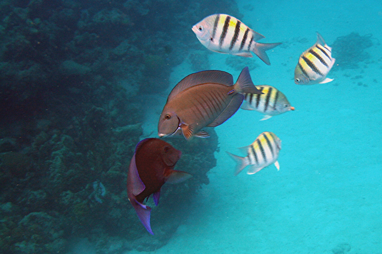 Doctorfish and Sergeant Major - Bahamas
