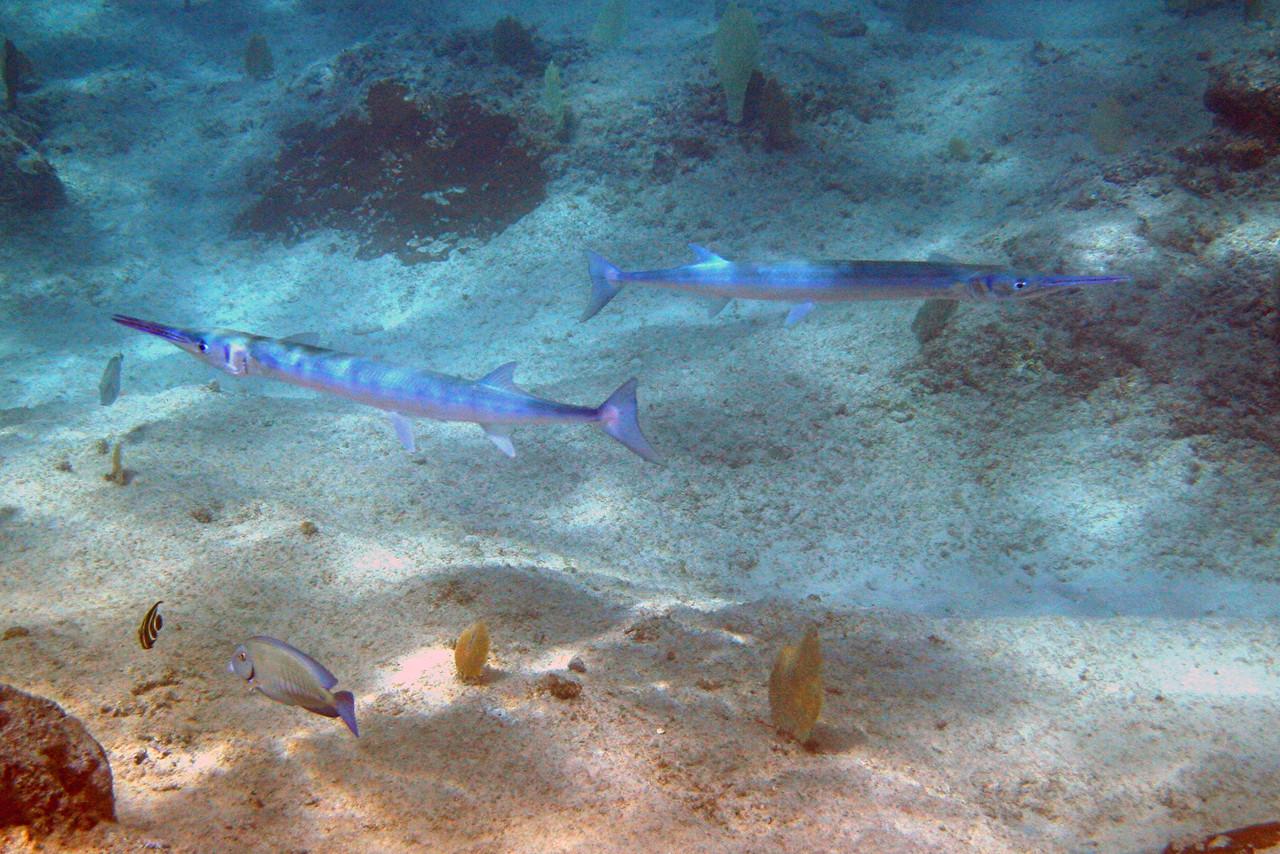 Redfin Needlefish - Cayman Islands