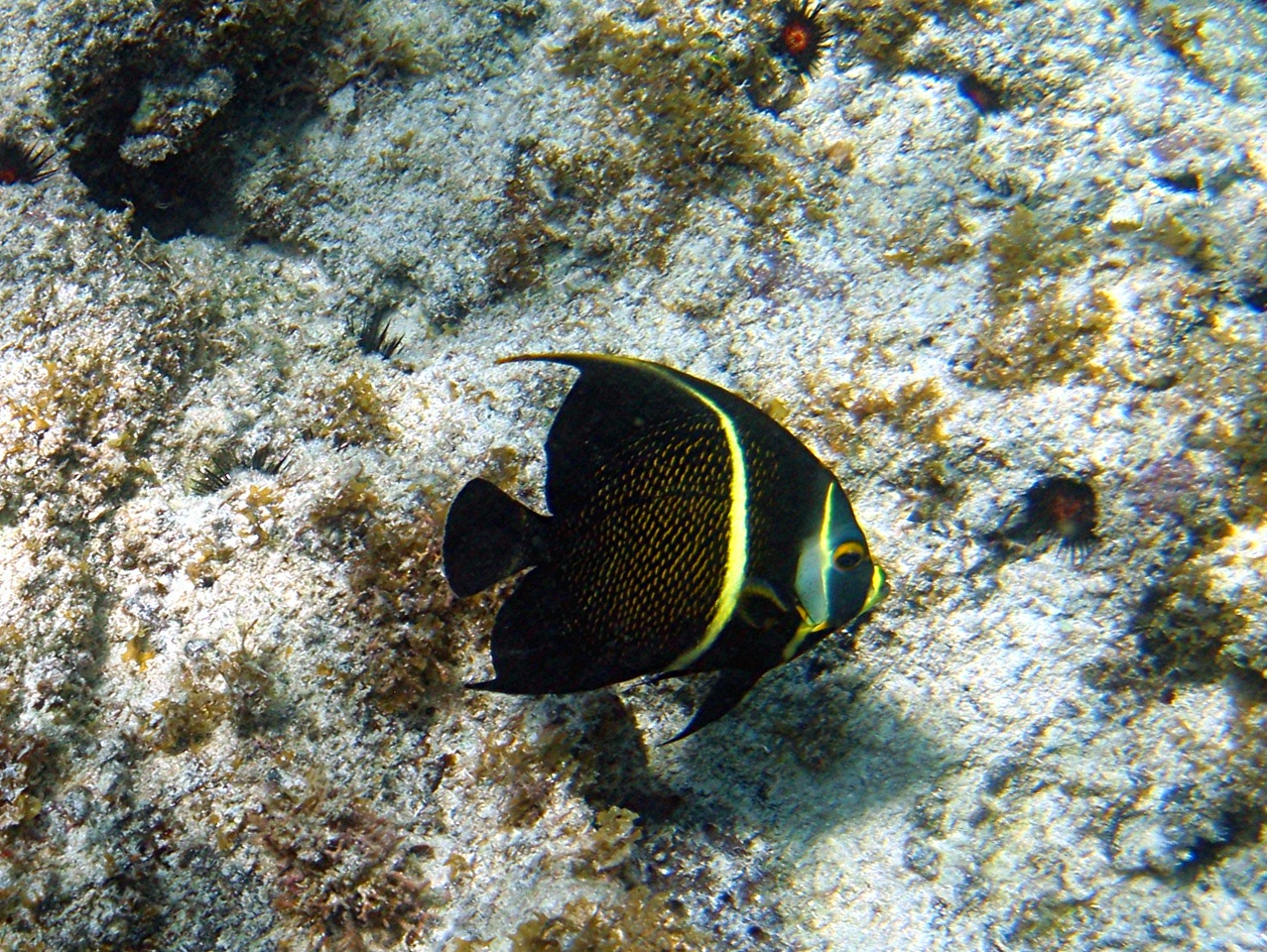 French Angelfish - Cayman Islands