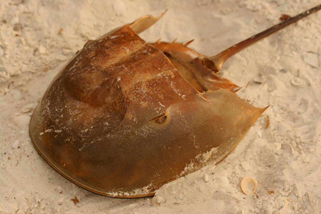 Horseshoe Crab - Florida
