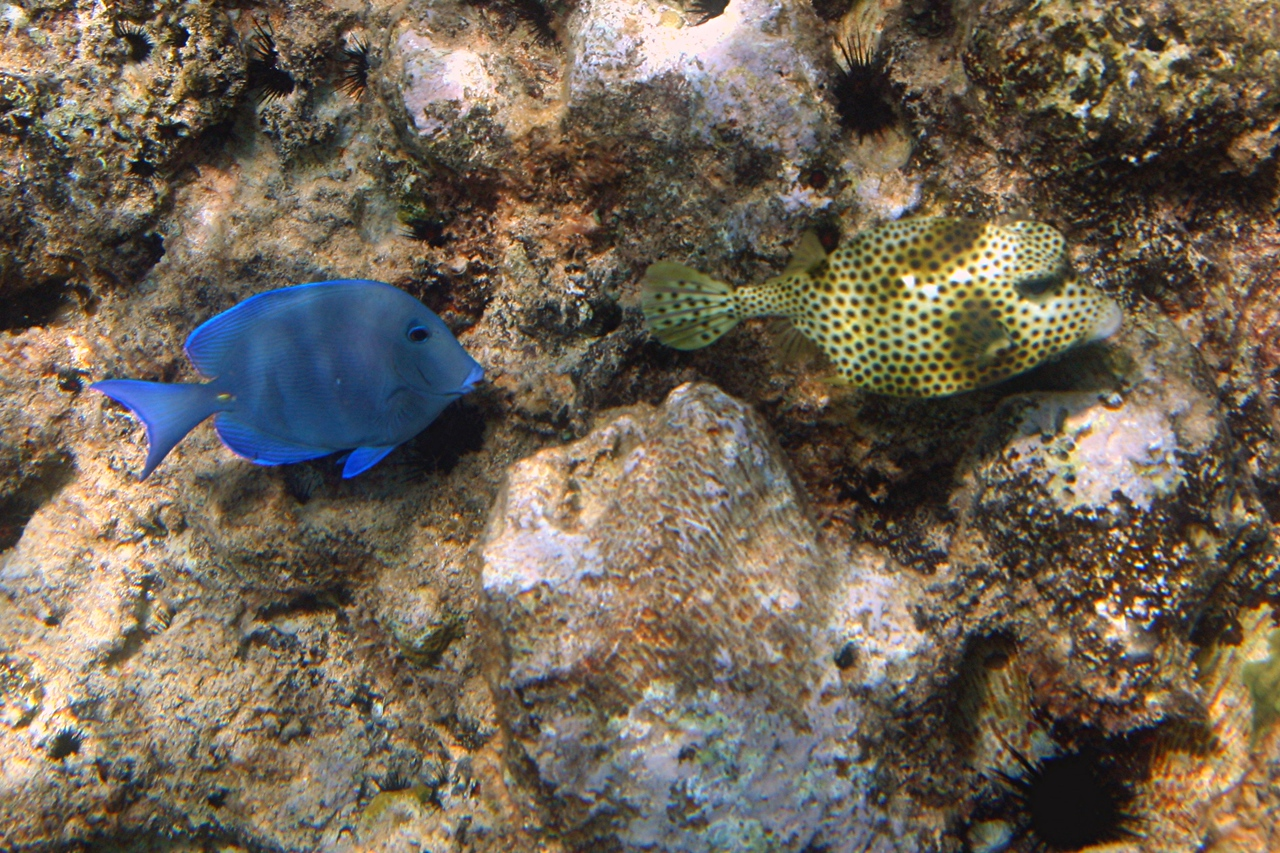 Blue Tang and Spotted Trunkfish - Cayman Islands