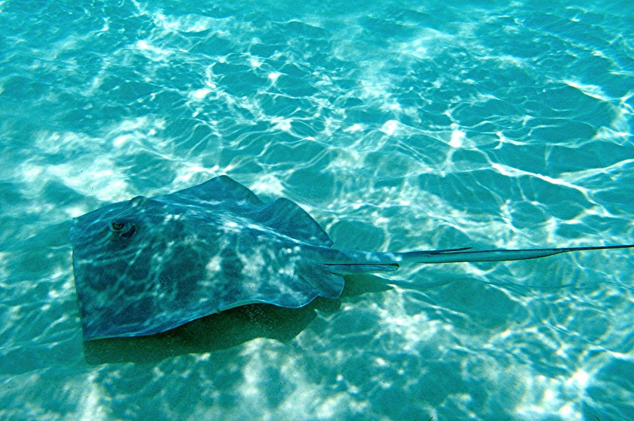Southern Stingray - Cayman Islands