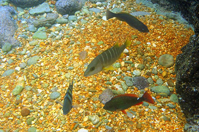 Sergeant Major, Schoolmaster, Redband Parrotfish - Cayman Islands