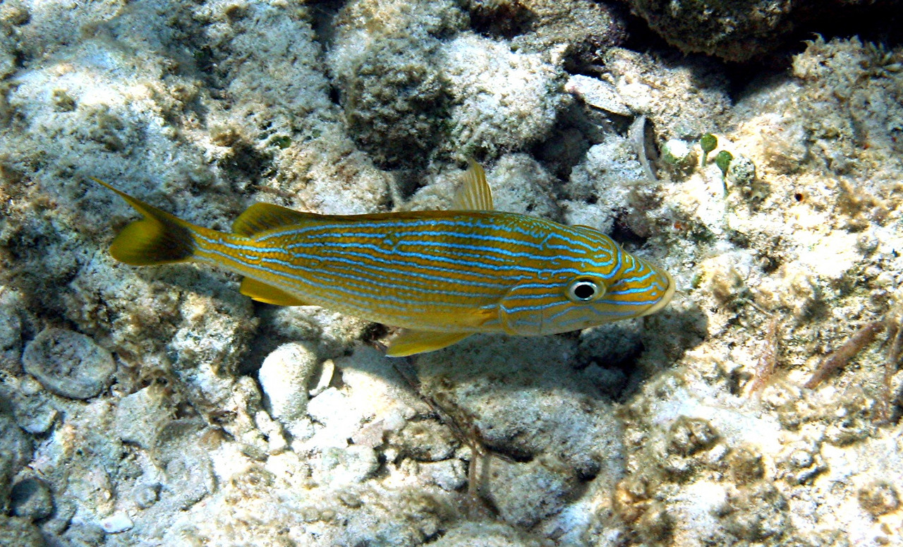 Bluestriped Grunt - Bahamas