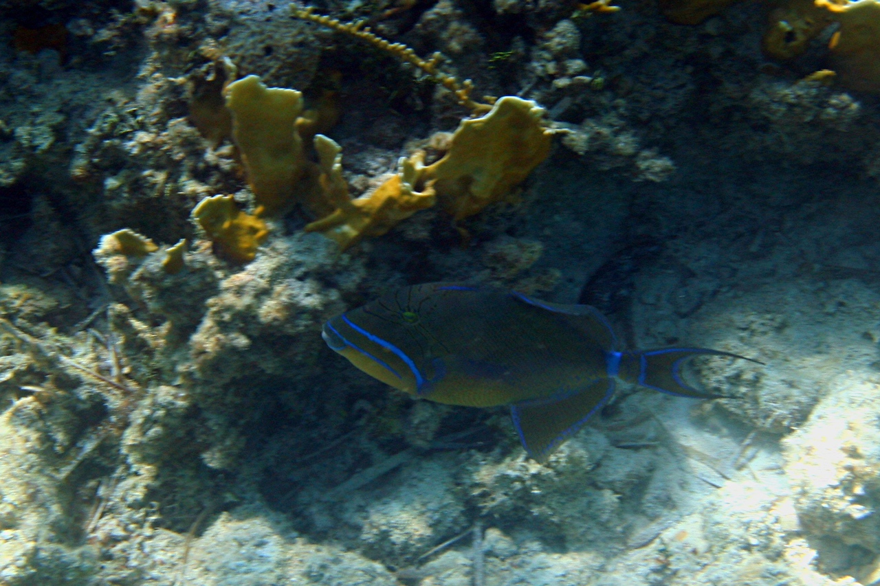 Queen Triggerfish - Bahamas