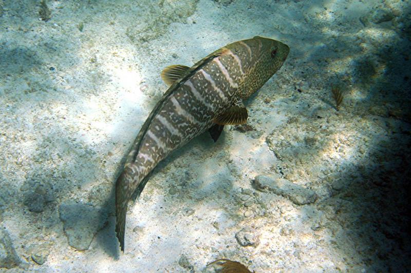 Tiger Grouper - Bahamas