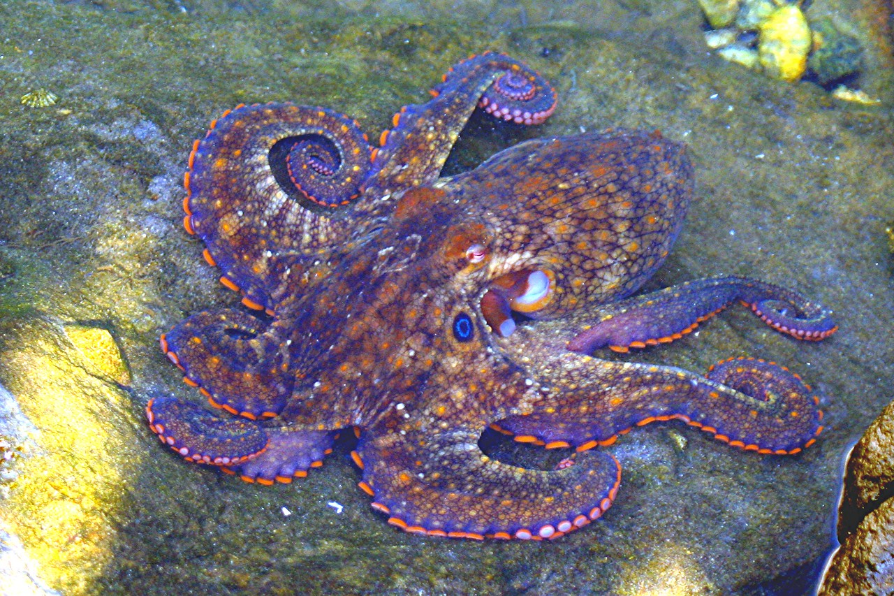 Two-spotted Octopus - California
