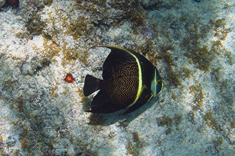 French Angelfish - Cayman Islands