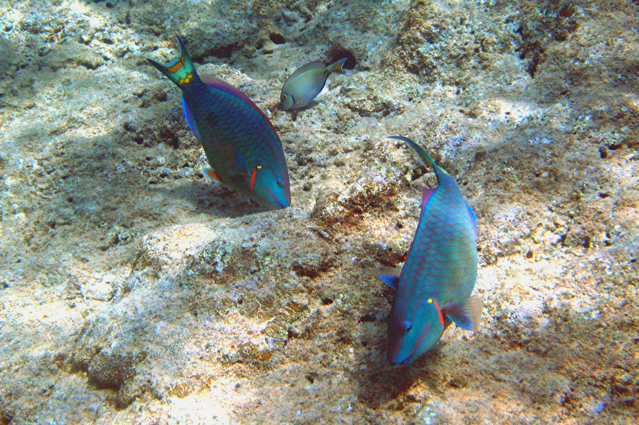 Stoplight Parrotfish - Cayman Islands