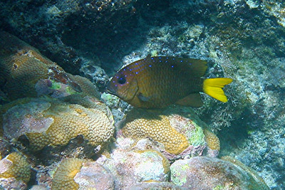 Yellowtail Damselfish - Cayman Islands