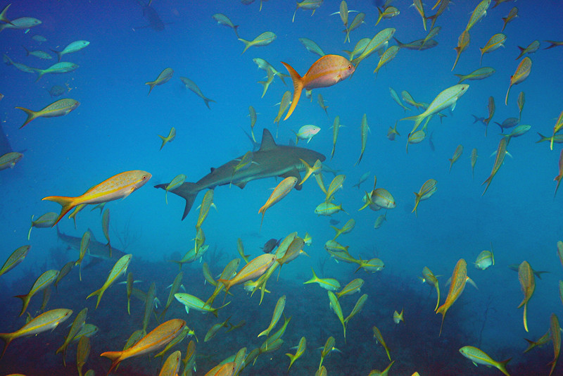 Reef Shark and Yellowtail Snapper - Bahamas
