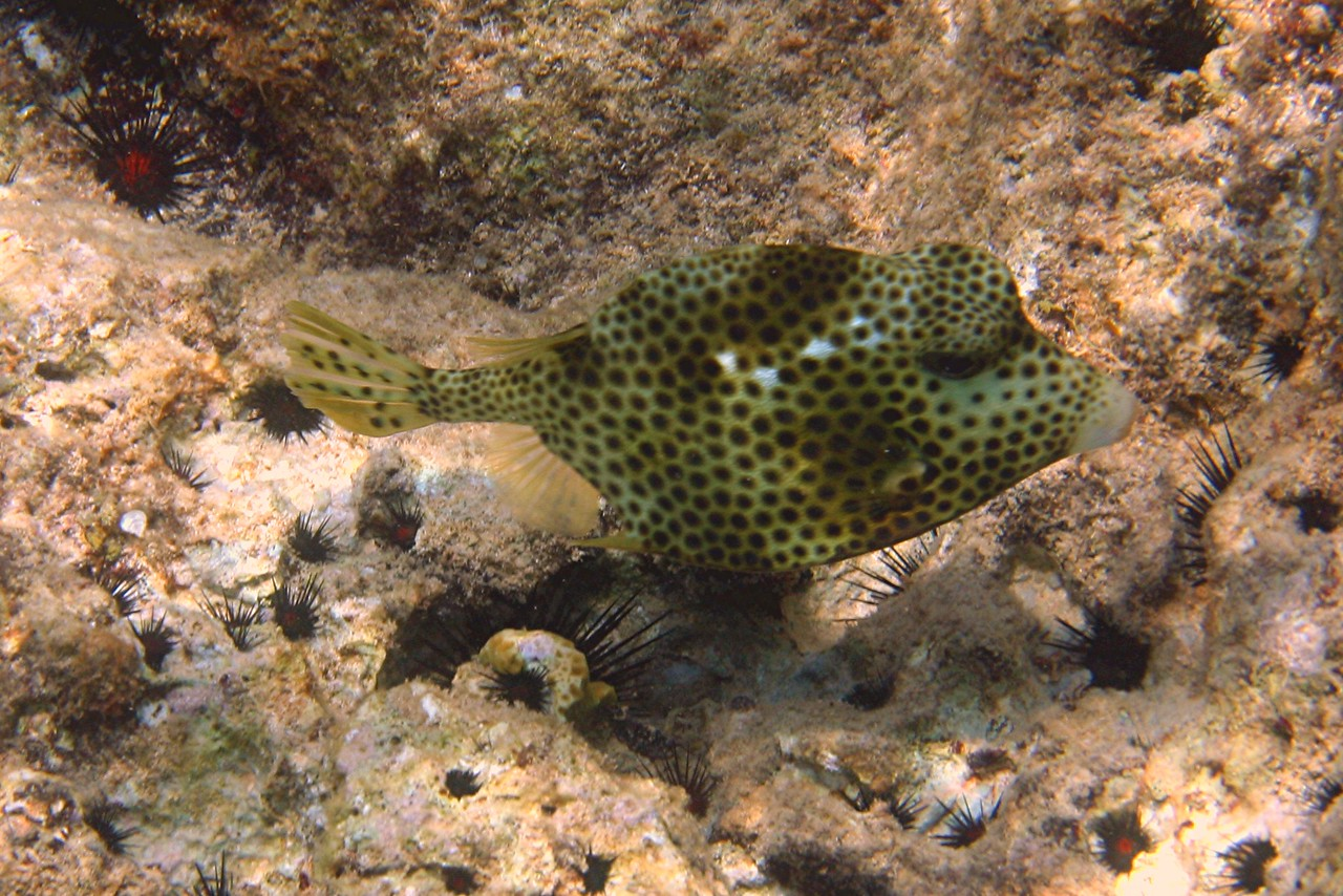 Spotted Trunkfish - Cayman Islands