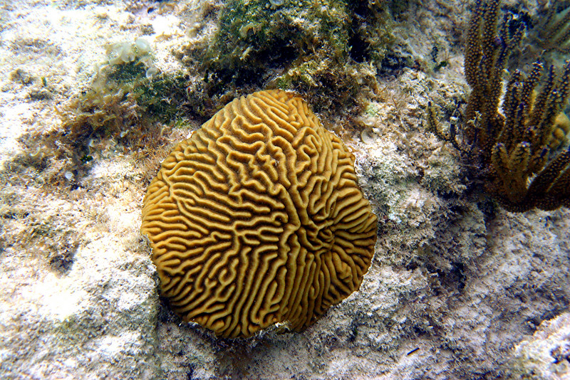 Brain Coral - Cayman Islands