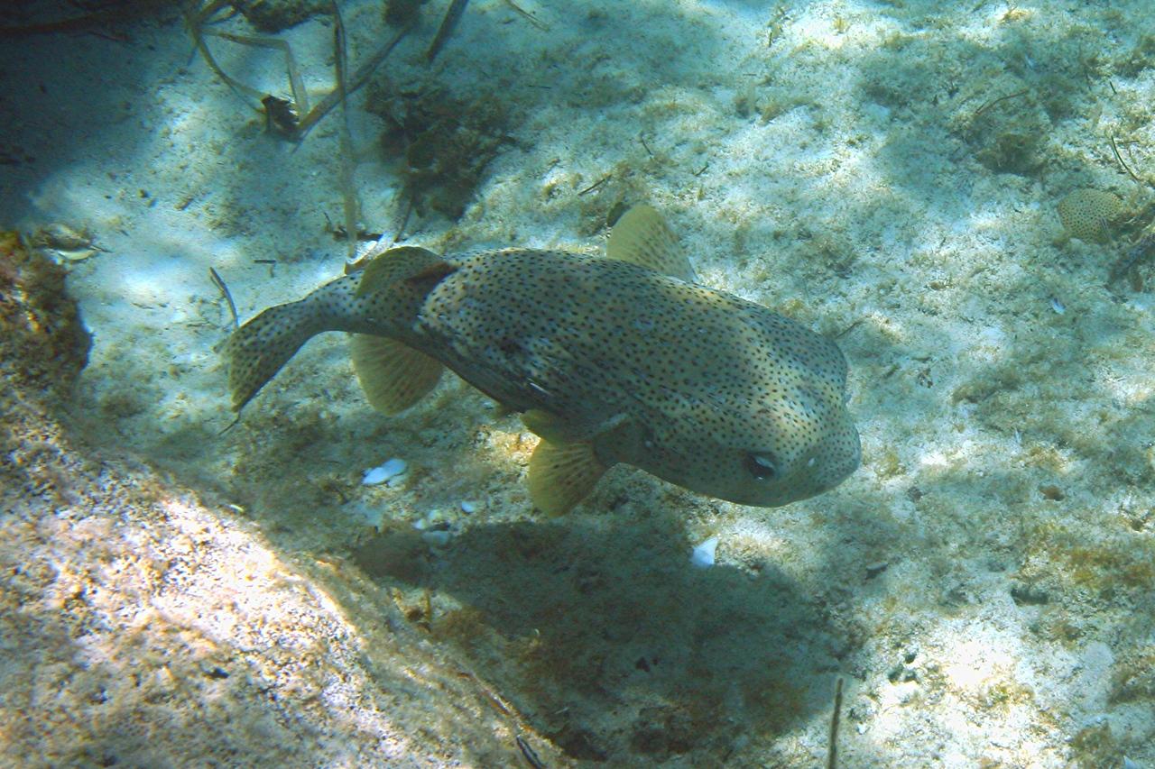 Porcupinefish - Bahamas