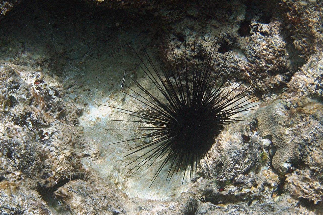 Long-spined Sea Urchin - Cayman Islands