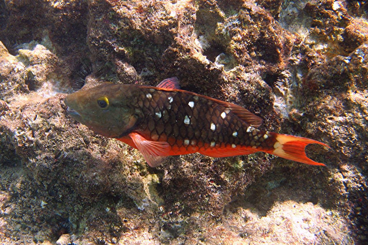 Female Stoplight Parrotfish - Cayman Islands