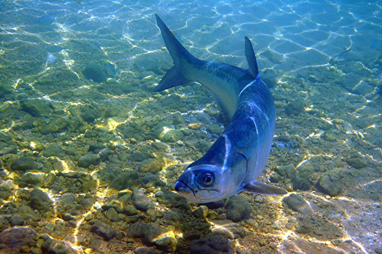 Tarpon - Cayman Islands