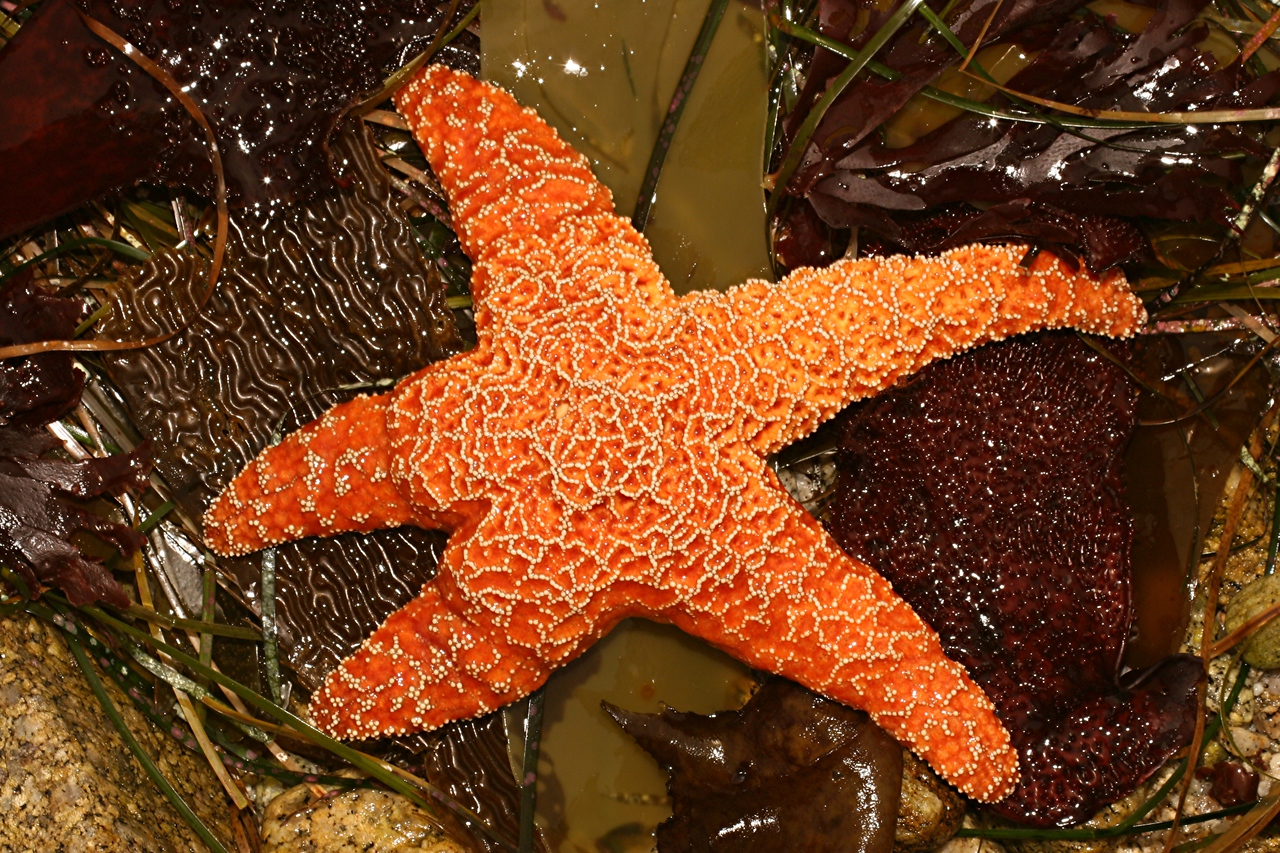 Ochre Star - California