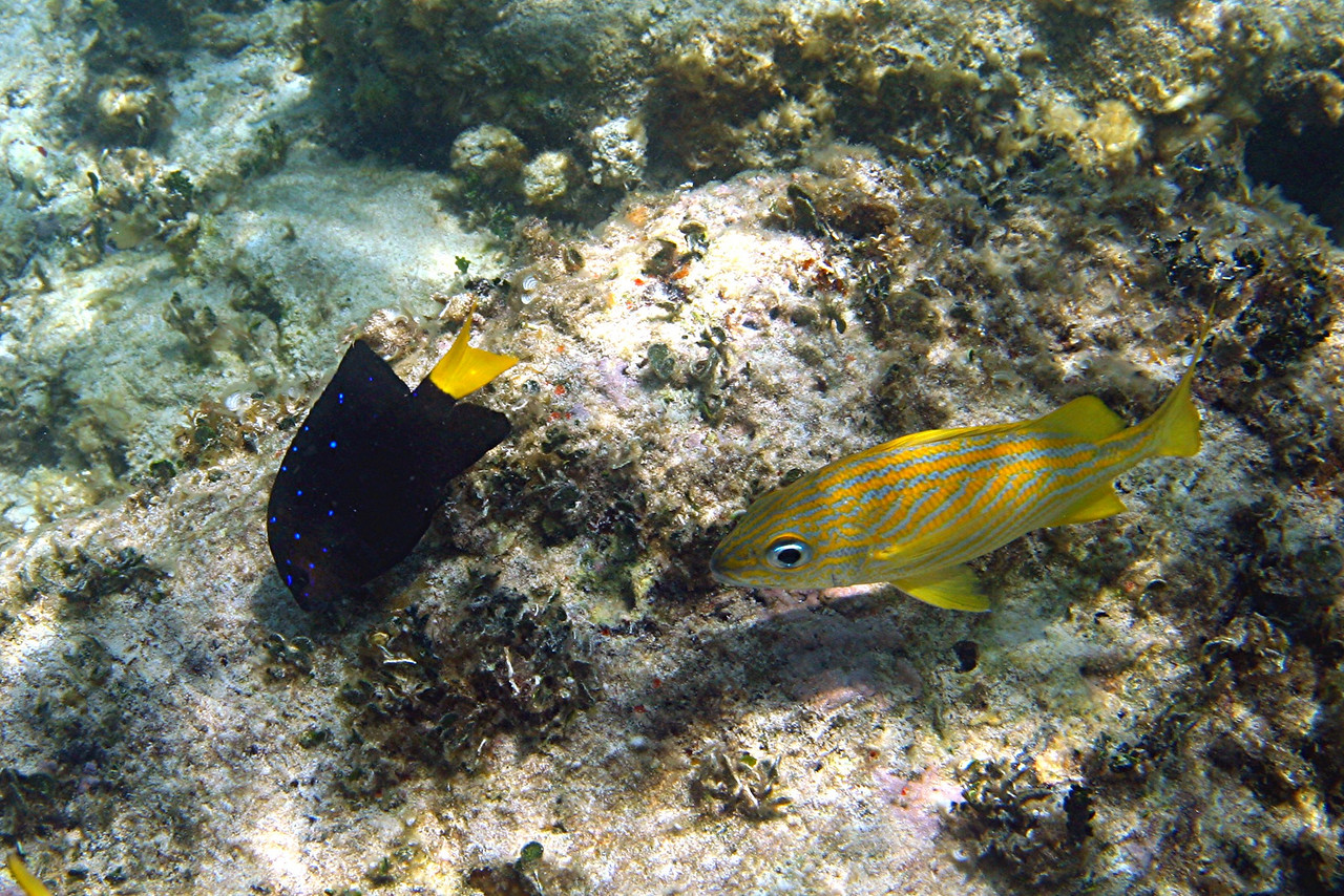 Yellowtail Damselfish and French Grunt - Bahamas