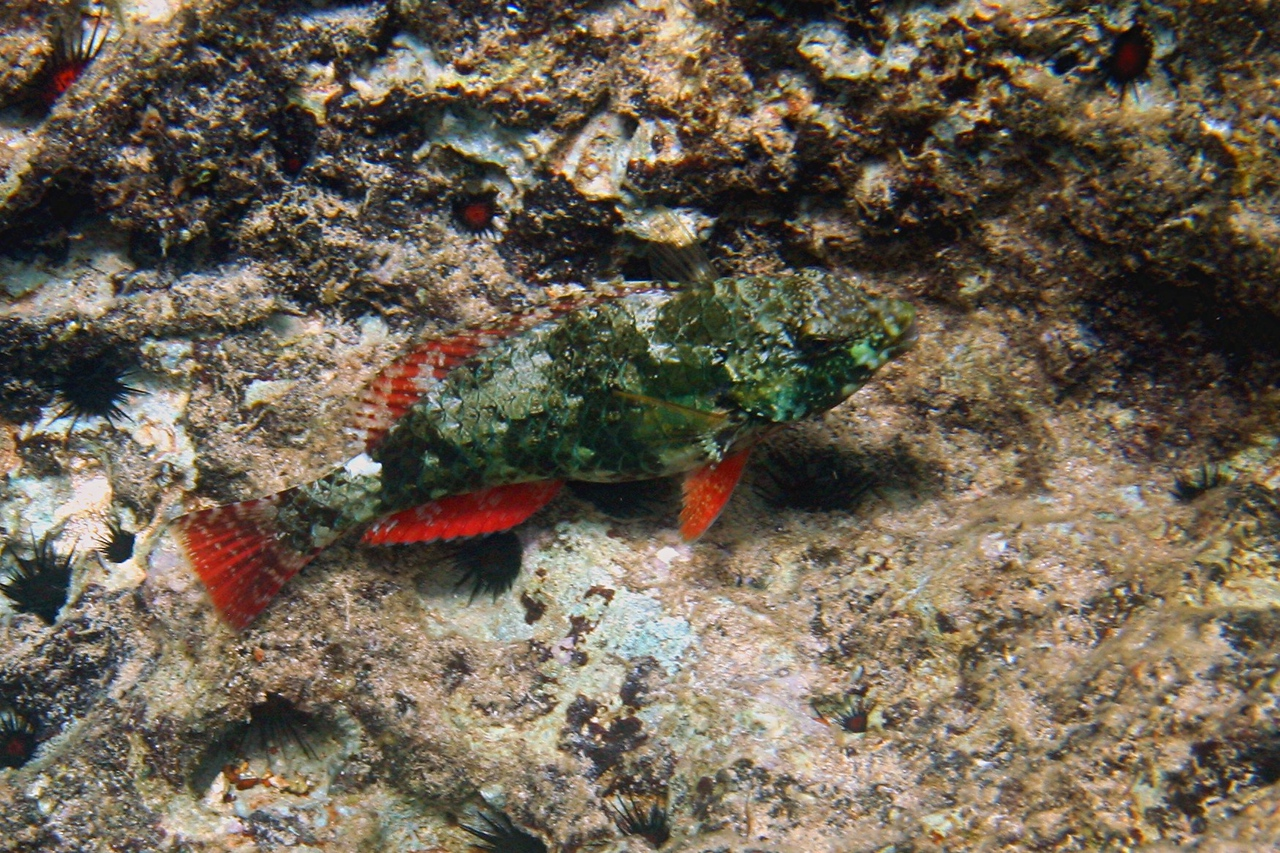 Redband Parrotfish - Cayman Islands