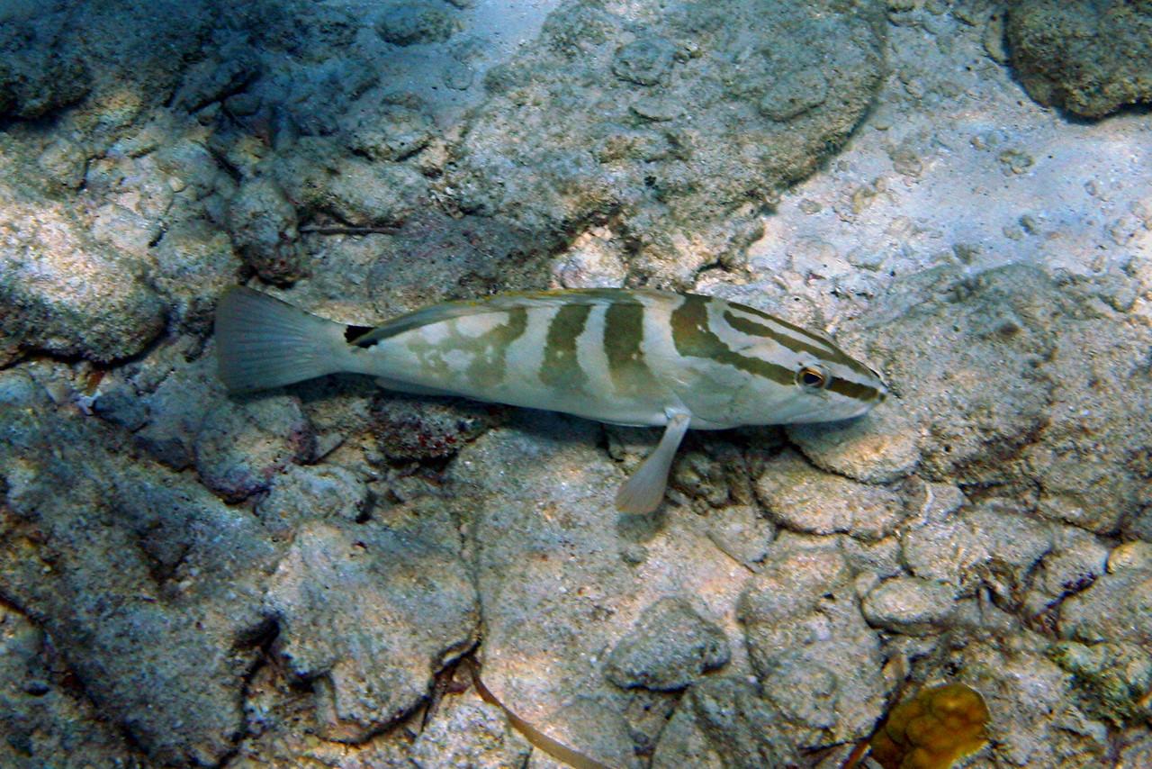 Nassau Grouper - Bahamas