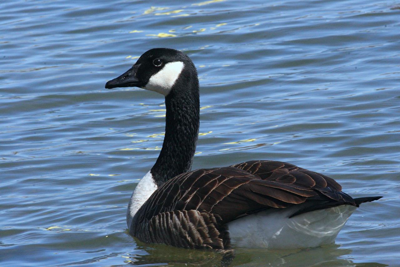 Canada Goose - Pennsylvania