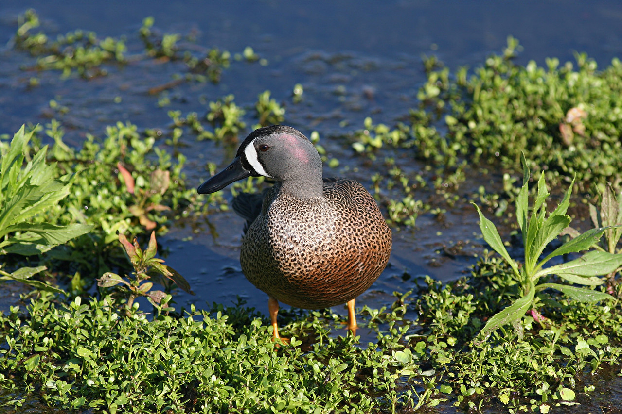 Blue-winged Teal - Florida