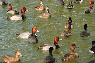 Redhead, American Coot, Ring-necked Duck - Nevada