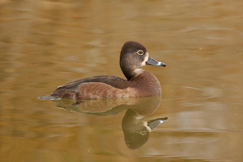 Ring-necked Duck, female - Arizona